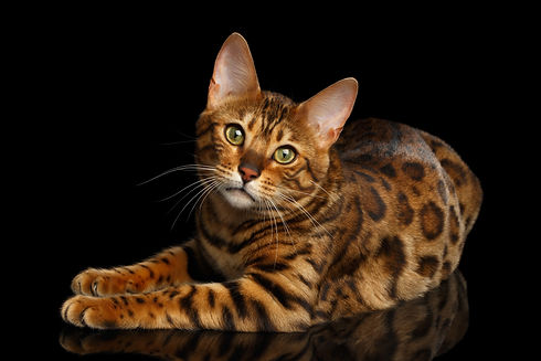 Gorgeous Spotted Bengal Cat Lying with k