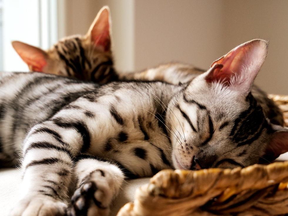 Young bengal kitten sleeping on cat tree
