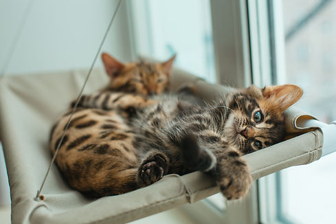 Two cute bengal kittens gold and choroco
