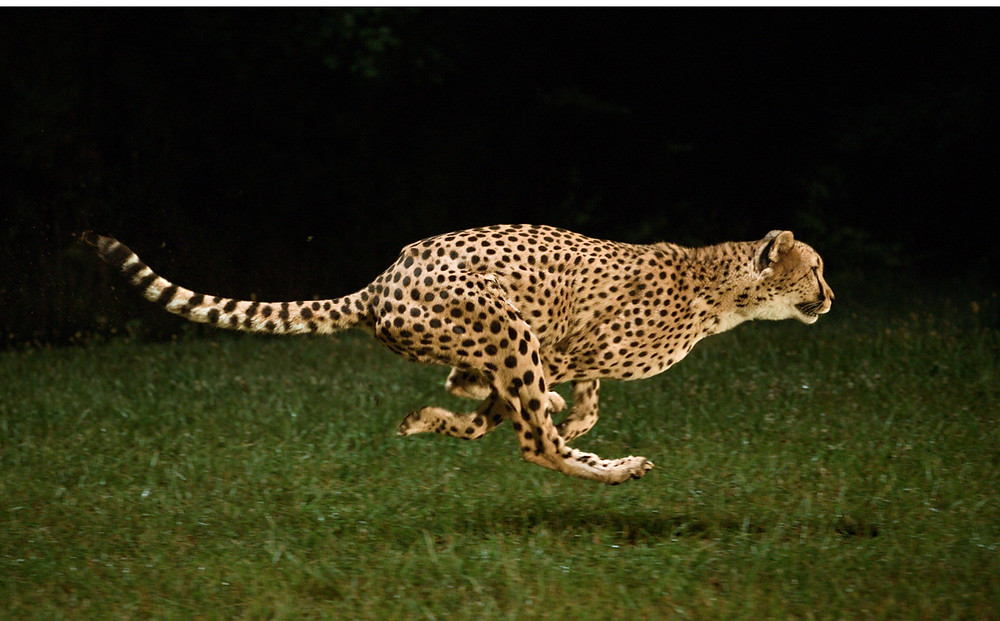Cheetah, Single Source Recruitment, Gloucestershire Recruitment, Tewkesbury Recruitment
