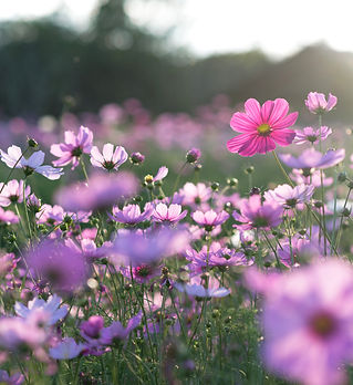 Field of cosmos flower.jpg