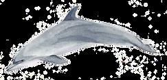 Delfin mular akris painting akrisworld watercolor