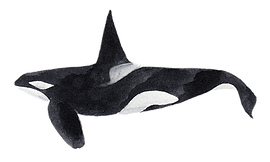 Orca_edited.png