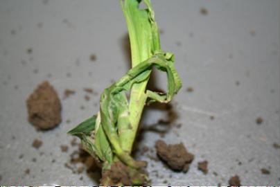 Pre-plant Herbicide Concerns in Cool, Wet Soil
