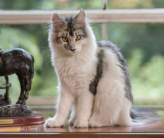 silver and white femail maine coon kitte
