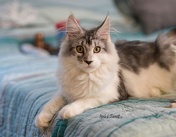 maine coon kitten for sale silver and wh