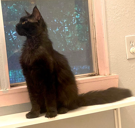 black male maine coon kitten for sale ma