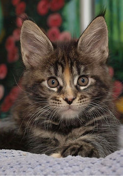 brown female maine coon kittens for sale florida