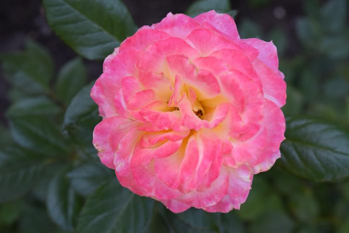 Rose rose et blanche.JPG