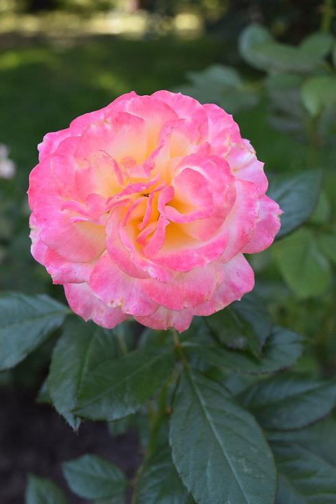 Rose rose et blanc.JPG