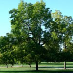 Large Green Maple Tree