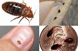 bed bugs in you mattress