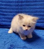 blue kitten.jpg