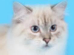 Siberian Cat Kittens Edmonton Alberta