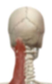 頚部 伸筋群.jpg