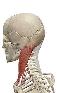 頚部 屈筋群2.jpg