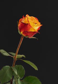Rose0720_0001 (B,Radius3,Smoothing1)23.jpg