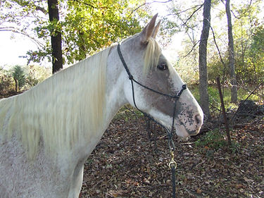 royal's merry dee - heritage tennessee walking horse mare