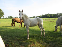 Echo's Ivory Tower MDF Heritage Outcross Tennessee Walking Horse Filly 2015