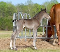 heritage tennessee walking horse colt