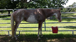 Echo's Mini Dee Heritage Outcross Filly 2012