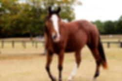 heritage tennessee walking horse, alabama tennessee walking horse, alabama walking horse farm