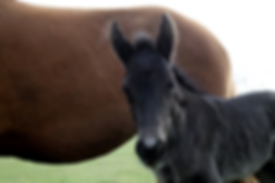 2017 Heritage Tennessee Walking Horse Filly