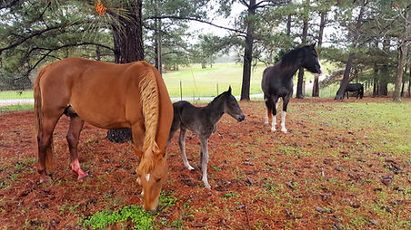heritage tennessee walking horse filly