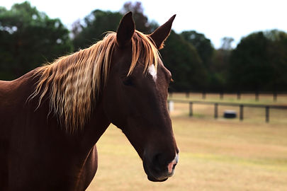 echo's royal queen - heritage tennessee walking horse