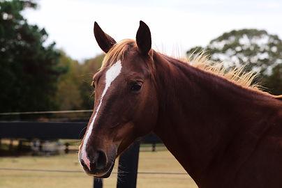 echo's ellen belle - heritage tennessee walking horse mare