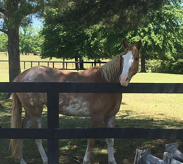 Echo's Sweet Thing MDF Heritage Outcross Tennessee Walking Horse
