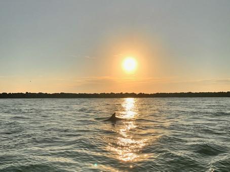 Gray bottlenose dolphins