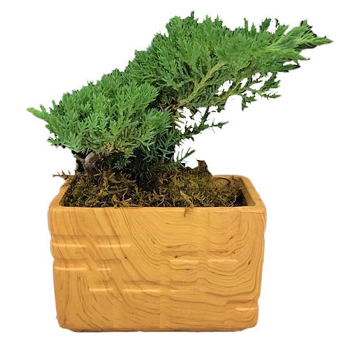"""3.5"""" Wood Grain Juniper Bonsai"""