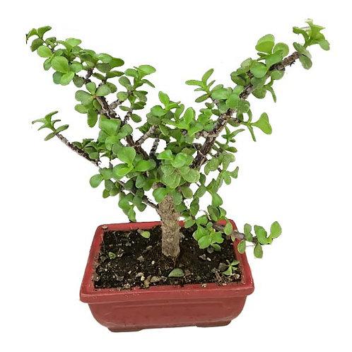 """6.5"""" Jade Tree"""