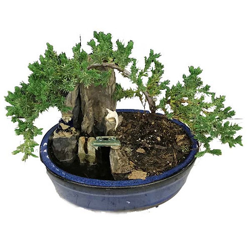 "8"" Oval Juniper Bonsai W/Pond"