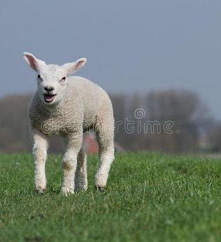 agneau-blanc-bêlant-et-fonctionnant-54841365.jpeg