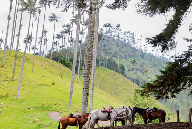 Pferde im Valle De Cocora