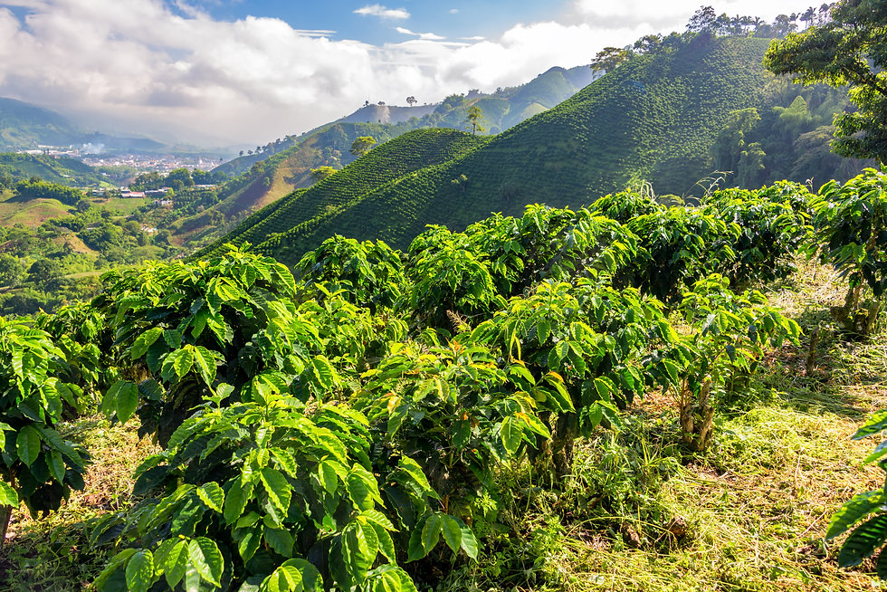 Hills covered in coffee plants near Mani