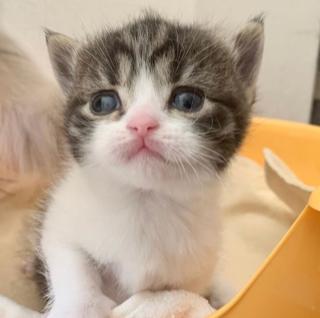 2020年1月30日 スコティッシュフォールド の子猫が産まれました❤️