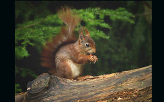 Stereotypical Scottish Squirrel