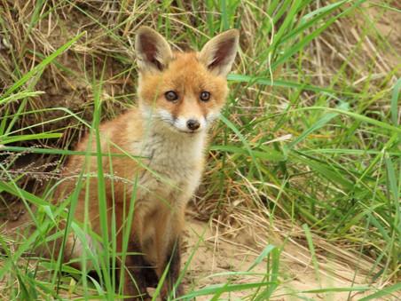 Hoorzitting: wordt de vos ook gehoord?