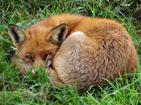 Rechtszaak tegen doden van vossen gewonnen