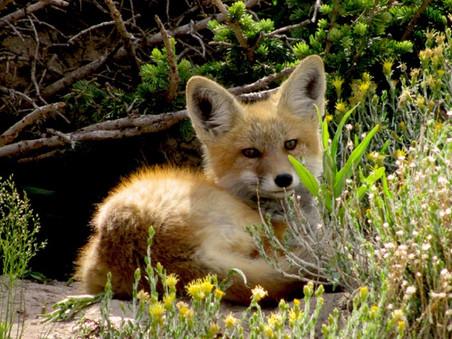 PvdD vraagt om intrekking ontheffing vossen