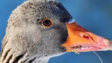 Kunnen jagers zomaar los gaan op grauwe ganzen?