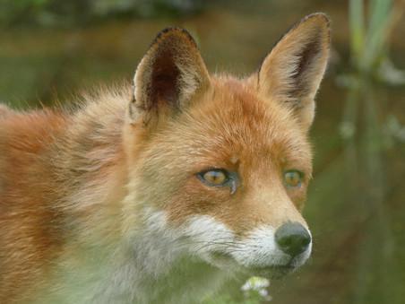 Ban de vossenjacht, teken de petitie!