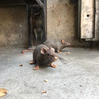grandis_rats.jpg
