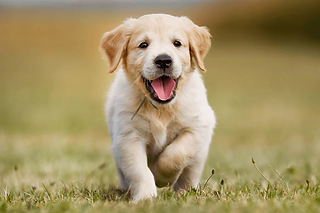Golden-Lab-Puppies.png