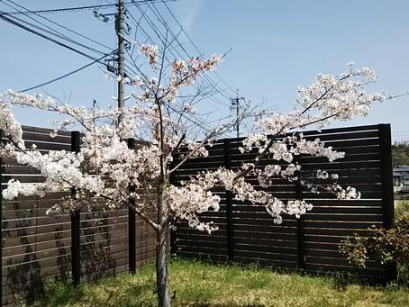 桜咲くの季節ですね♡