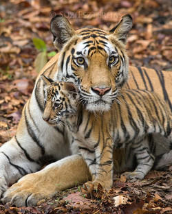 Tiger Mom Misconceptions