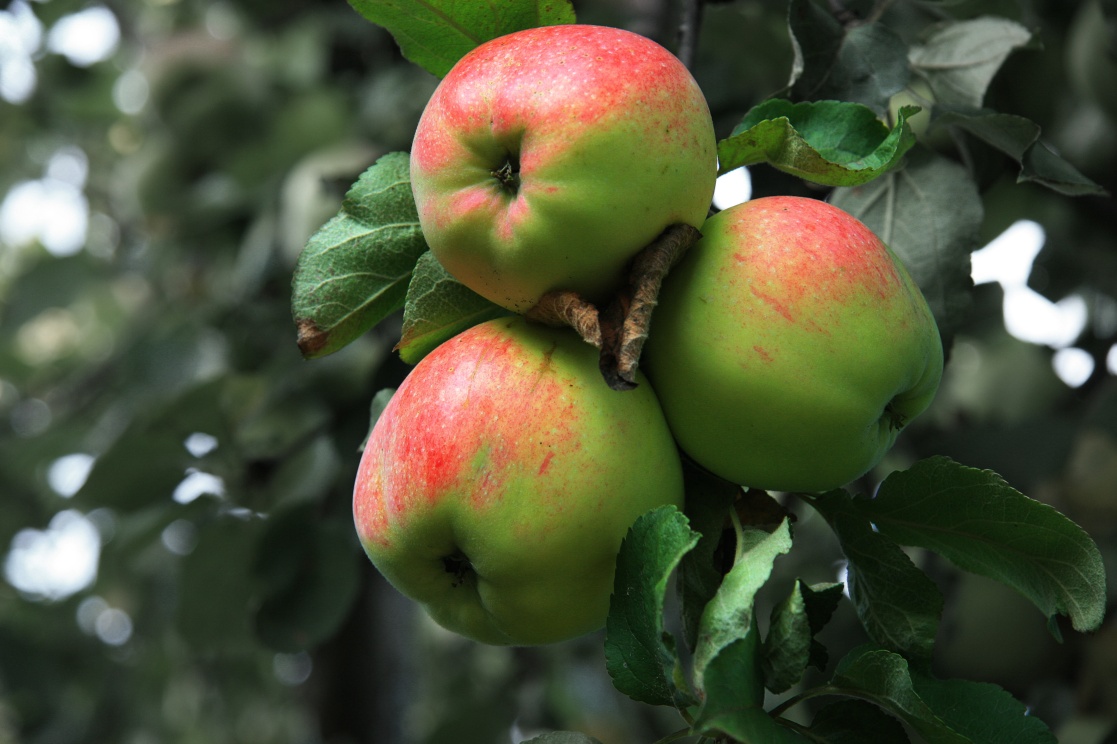 manzanas soberron